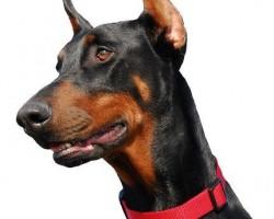 Certificado médico tenencia animales peligrosos. Clínica Suecia en Valencia